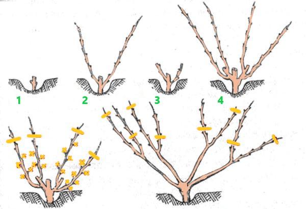 Обрезка и формировка винограда